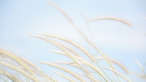 Flowers grass summer scene of reeds waving in the winds very sunny