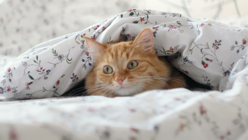Cute ginger cat lying in bed. Fluffy pet hiding under blanket, looking curiously on something moving under a sheet. Cozy home background with funny pet. | Shutterstock HD Video #32408011