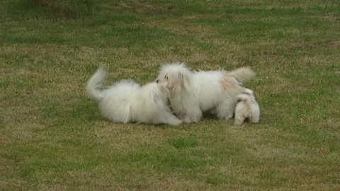 Coton de Tulear, playful pups & adults. Cotons love to play with other dogs.