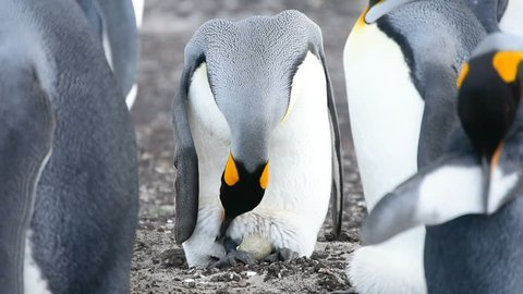 A new born chick of a King penguin over a piece of egg of a King penguin