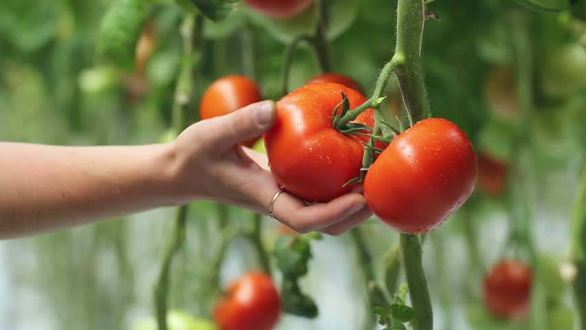 harvesting of tomatoes