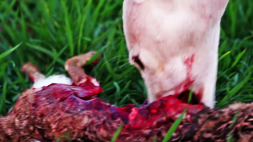 Close-up of white female greyhound eating a hare after hunt