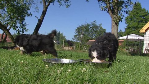 Bernese Mountain Dog Pups Eating Stock Footage Video 100 Royalty Free 3250141 Shutterstock