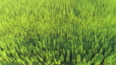 AERIAL: Narcotic cannabis plants growing in endless marijuana plantation outdoors. Large narco fields of illegal marijuana drug growing under sun. Medicinal and recreational hemp plants cultivation