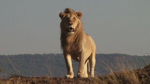 A big male lion watches his territory from a high point in masai mara.