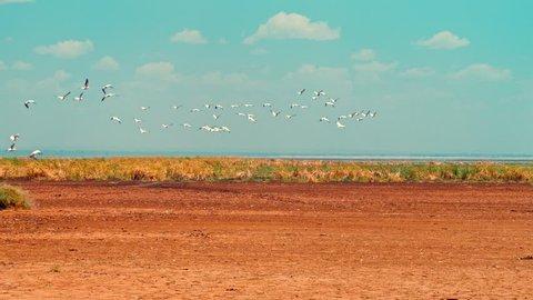 A cinematic camera shot of flight of various migratory water birds the Lake Manyara National Park, Tanzania, Africa. Pelicans, storks, ducks, geese, teals, francolins, herons, Egrets, Ibis, Kite