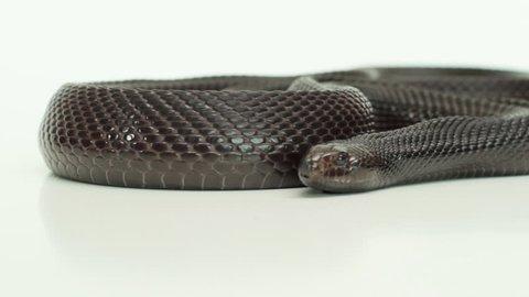 Frightening Pine snake