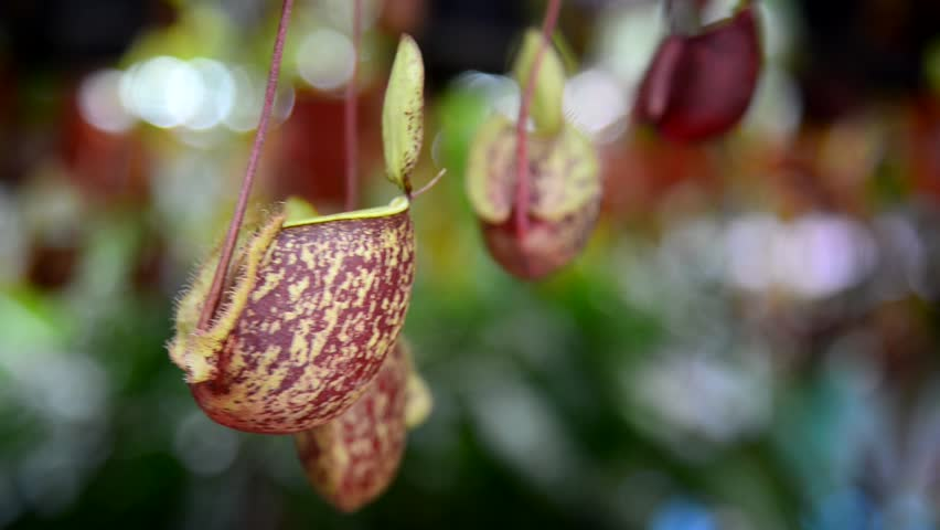 Nepenthes, Tropical pitcher plants and monkey cups in garden.