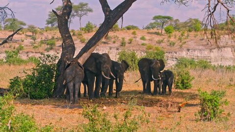 Family of elephants cooling off in shadows, hiding from heat of scorching sun in colorful, dry savanna fields of Tarangire national park in Tanzania, Africa on a bright, hot, sunny day.