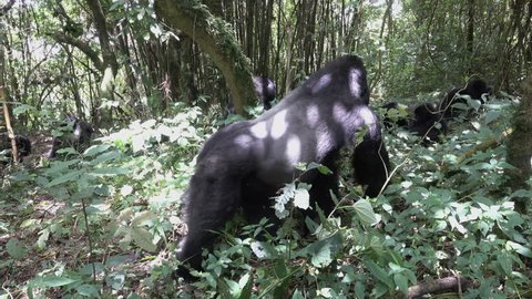 Mountain Gorilla, Silverback runs from left side to right, Virunga, Democratic republic of Congo, Africa
