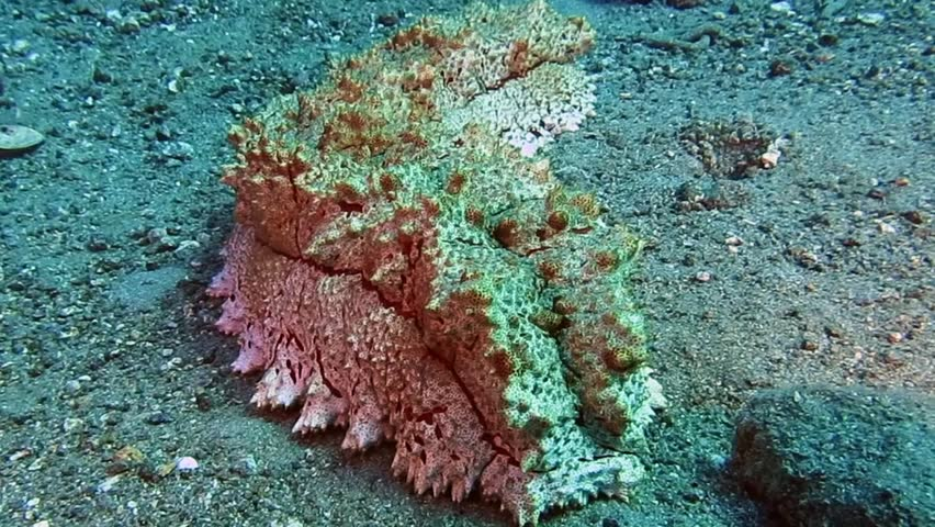Large  sea cucumber rocking on sand in Togian islands
