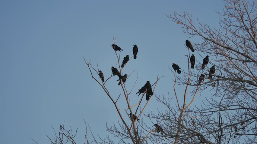 Flock of raven birds sitting on tree autumn dry branches of trees. crows birds flock | Shutterstock HD Video #32672881