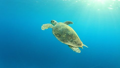 Hawksbill Sea Turtle swimming in blue water, comes up for air and then dives again