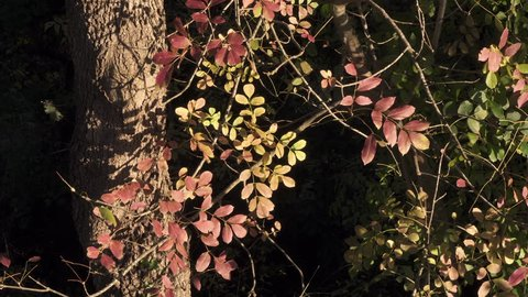 Tuscany (Italy) during Autumn in a windy and sunny day: red leaves oscillate
