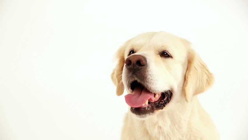 Portrait of a golden retriever on a white background closeup in studio | Shutterstock HD Video #32827411