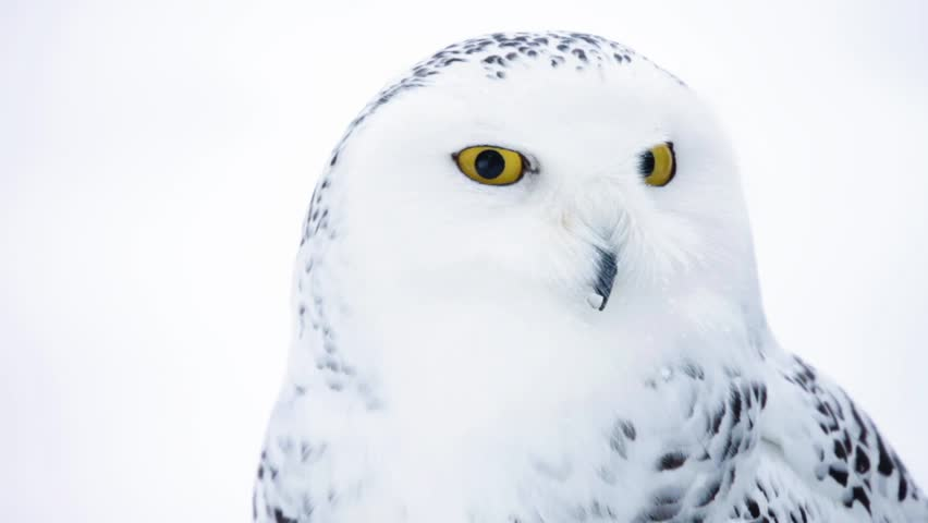 white owl with yellow eyes (shallow DOF)