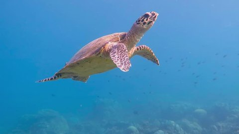 Sea turtle swimming in the shallow water to the sun. Blue water video with underwater creature. Scuba diving liveaboard trip.