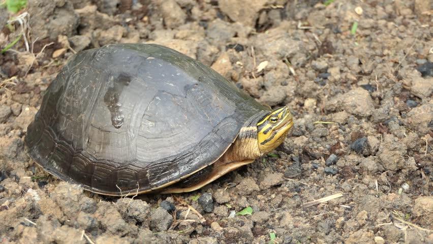 Freshwater Tortoise, Video 4k Natural