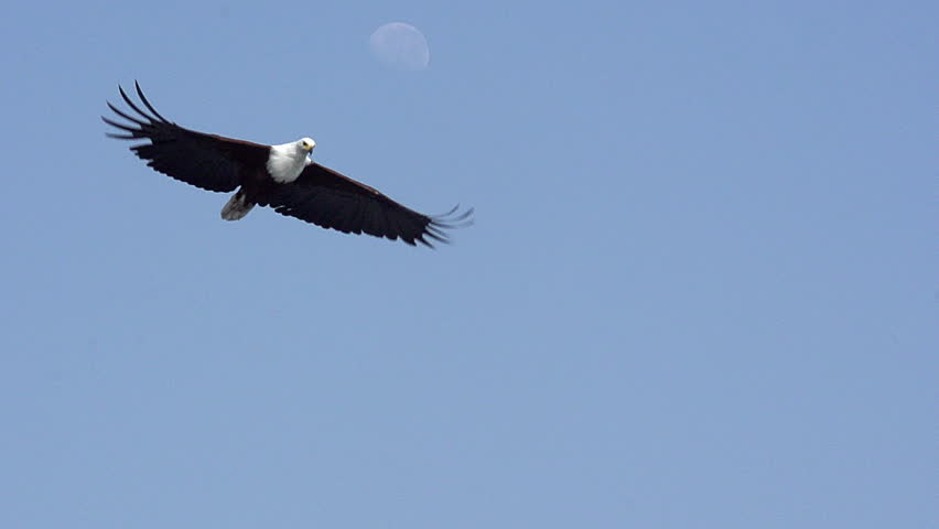 African Fish-Eagle, haliaeetus vocifer, Adult in flight, Chobe River, Okavango Delta in Botswana, Slow motion #32977831