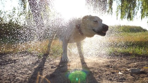 Wet dog shaking off water from his fur near lake at nature. Sun shine at background. Golden retriever or labrador after swims in the pond. Slow motion Close up