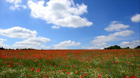 Summer field full of poppie flowers