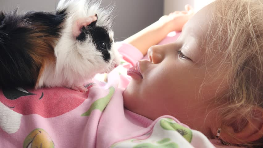 Funny kid girl play with cavy guinea pig kissing her muzzle - pet animal in childhood