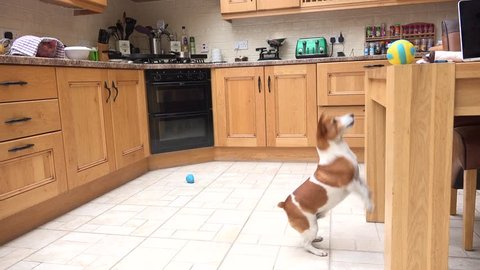Editorial use only; a jack russell terrier focuses on his target and never gives up until he reaches his goal, taken Carrigallen, Co. Leitrim, Ireland, on August 27th, 2016.