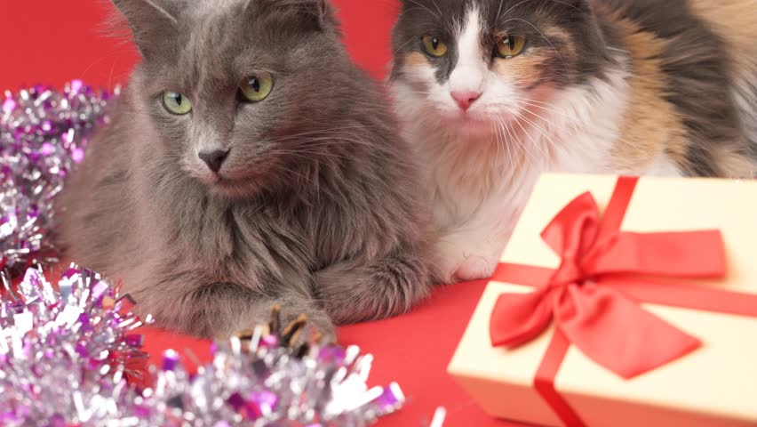 Nebelung cat and Turkish Angora in a celebratory setting with a gift. Birthday, Christmas, New Year, anniversary celebration concept.
