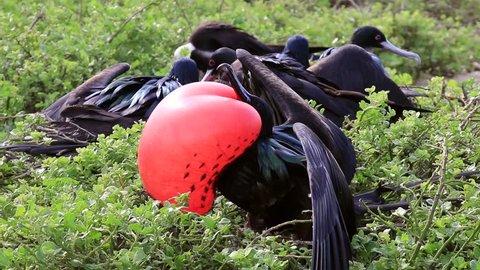 Male Great Frigatebird displaying on Genovesa Island, Galapagos National Park, Ecuador
