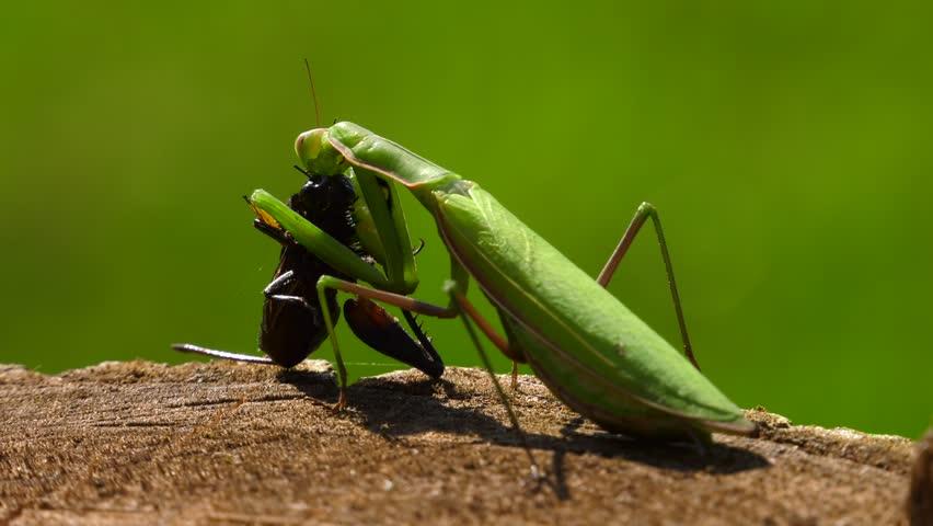 praying mantis eating cricket zoom in Stock Video (HD) Royalty-Free ...
