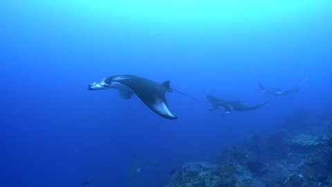 Reef manta rays in a mating train, Manta alfredi, Manta Alley, Komodo National Park, Indonesia, Indian Ocean