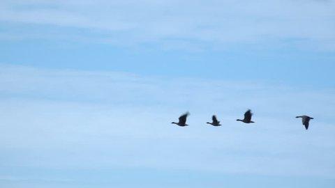 Geese flying in the sky in winter 4K