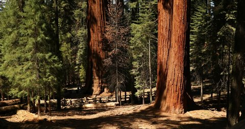 Sequoia National Park, USA - May 22, 2017: Tourists and hikers gather by the General Sherman tree in Sequoia National Park California USA. General Sherman is a giant sequoia.