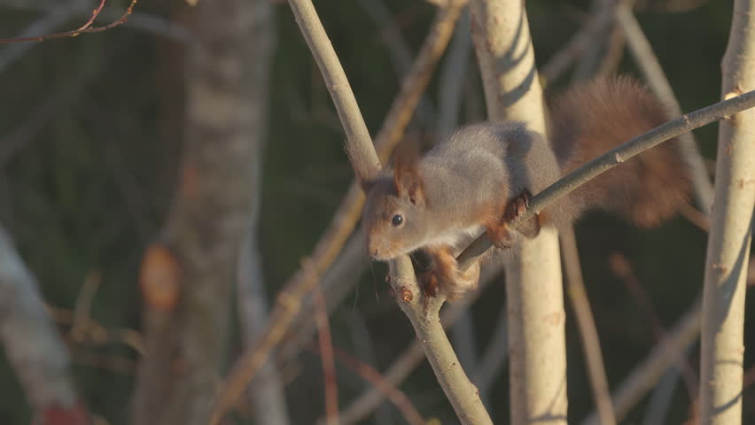 red squirrel animal in tree jumping out of frame
