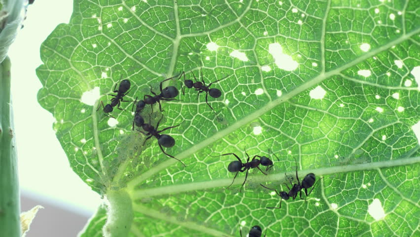 Black ants milking aphids on green leaf