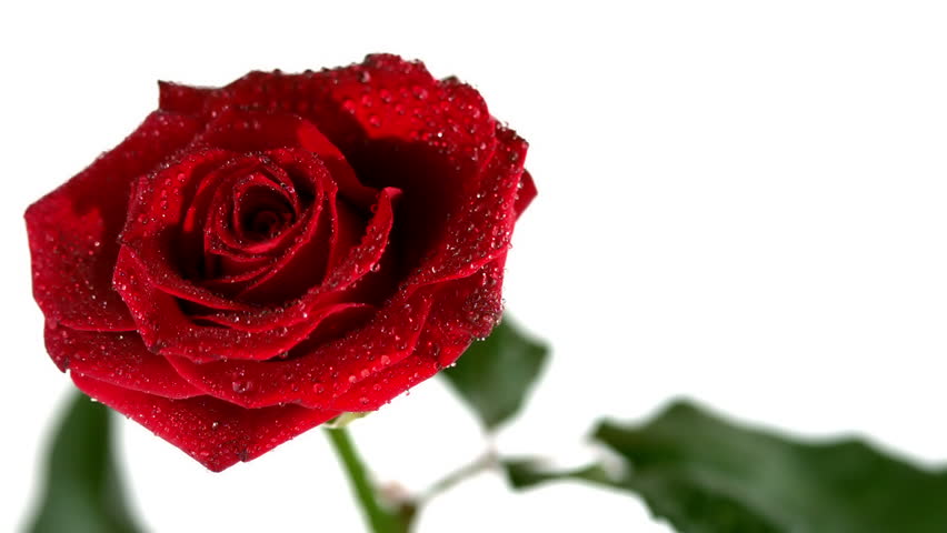 Dew drops falling from red rose in slow motion