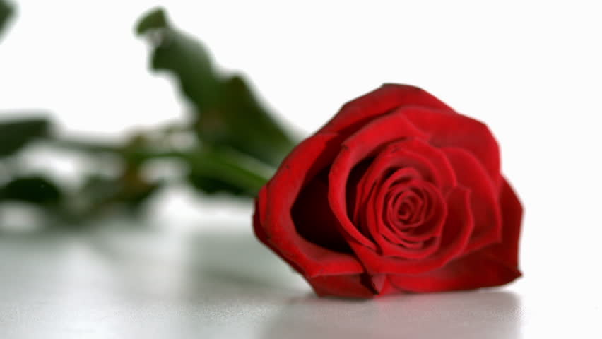 Red rose falling and bouncing in slow motion