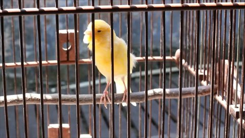 beautiful male canary bird voice