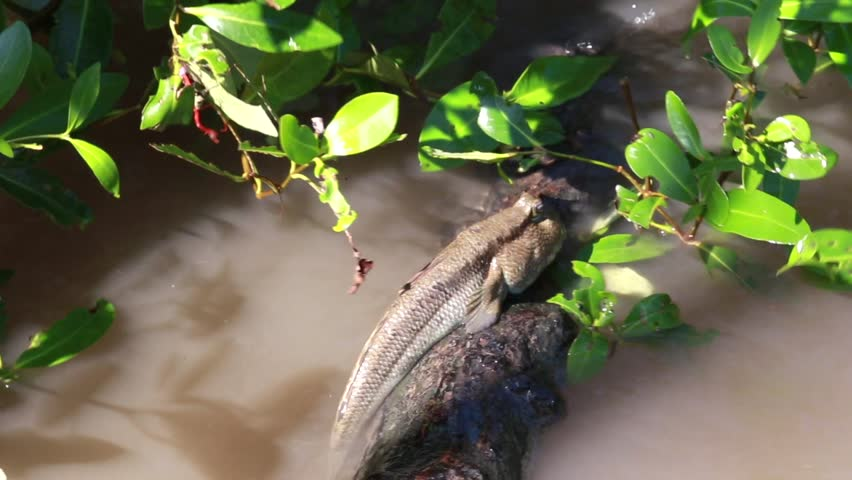The Mudskipper fish on a twig over the water