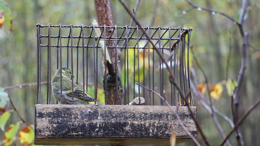 Birdcatching (fowling) as most ancient human occupation (for male only). Fowler holds cage with Eurasian siskin (Spinus spinus, male, call bird). Such small cages are used for decoy bird