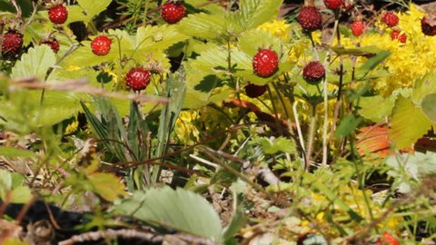 Wild Strawberries in June, ripe and overripe berries. Strawberries in forest-steppe on background of steppe vegetation and golden moss