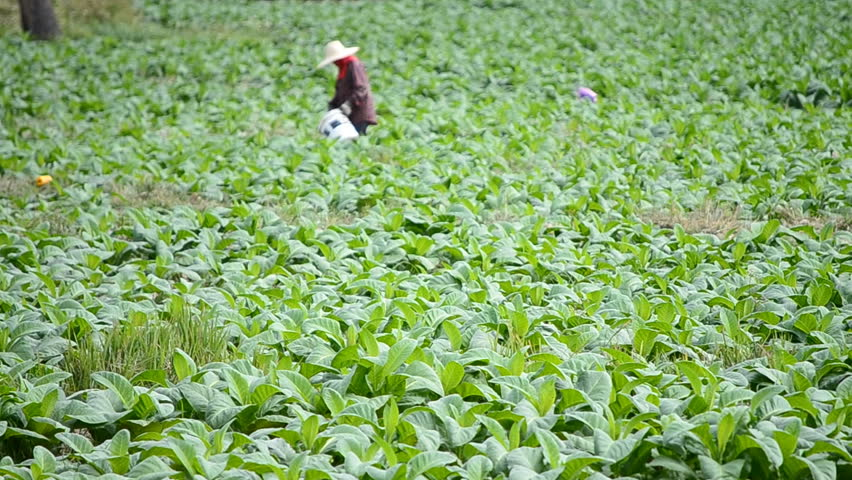tobacco farm and farmer take apply fertilizer for plants
