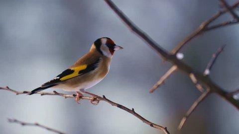 garden bird goldfinch - Staffordshire, England: December 2017