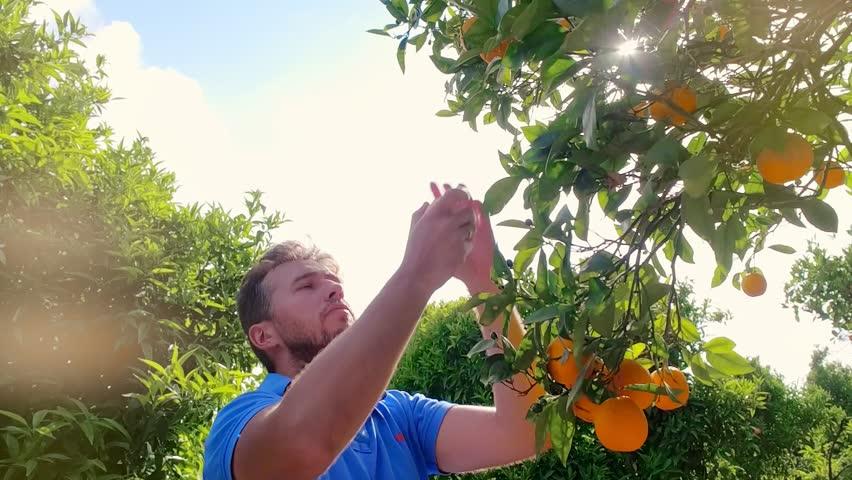 Gardener man tearing orange from branch in citrus grove. Young farmer touching ripe orange in fruit orchard. Man sniffing orange in fruit grove. Man at fruit garden on a summer day. Orange fruit tree | Shutterstock HD Video #33830161
