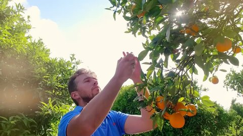 Gardener man tearing orange from branch in citrus grove. Young farmer touching ripe orange in fruit orchard. Man sniffing orange in fruit grove. Man at fruit garden on a summer day. Orange fruit tree