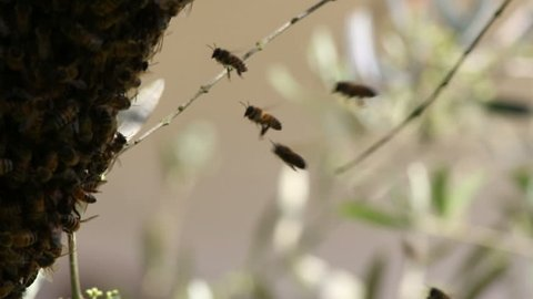 the swarming collective behaviour exhibited by the bees for migrating.
