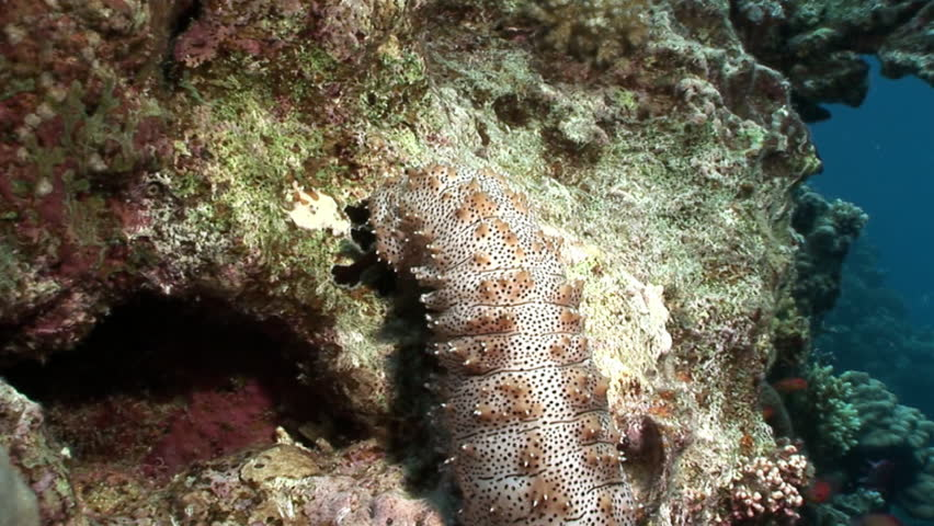 Bohadschia Graeffei sea cucumbers underwater in Egypt. Relax video about Holothuroidea invertebrates Echinodermata.