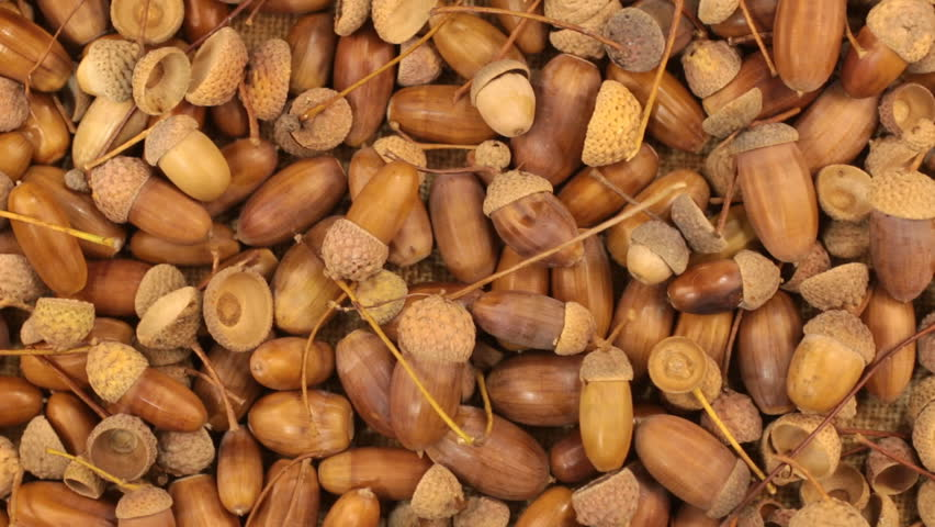 Close-up. Rotation of oak acorns with green leaves. | Shutterstock HD Video #33968497