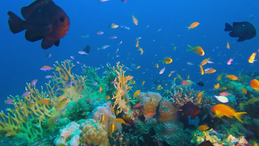 Underwater Tropical Fishes and Grouper Fish. Picture of beautiful underwater colorful fishes scalefin anthias fish and grouper fish in the tropical reef of the Red Sea, Dahab, Egypt.