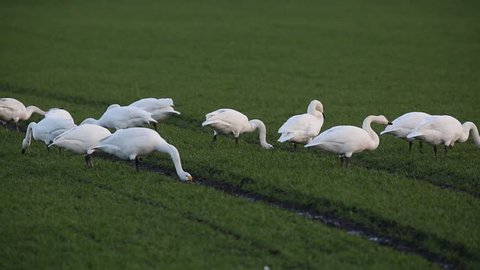 Whooper Swans (Cygnus cygnus) feeding and drinking in a farmers grassy field in Welney, UK.